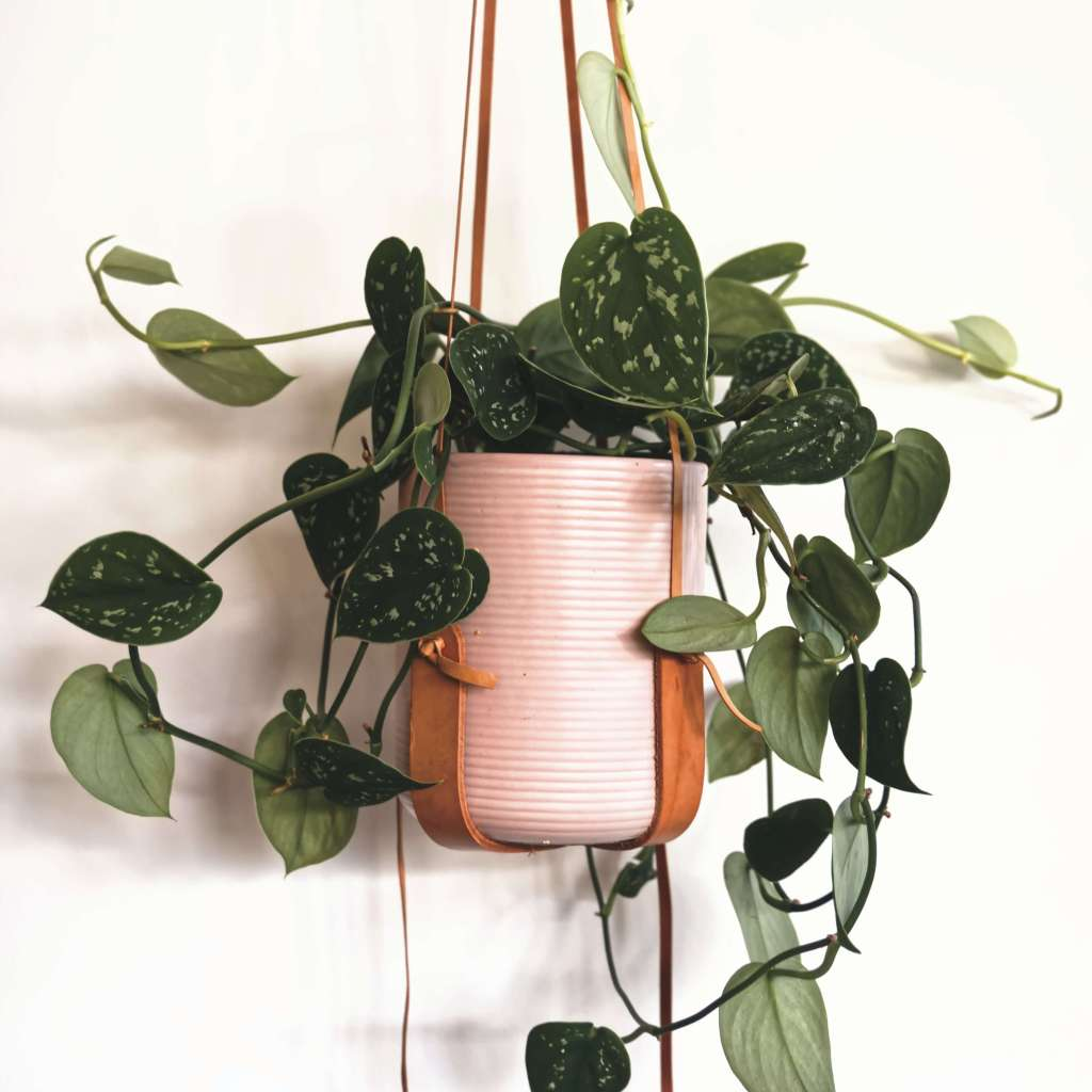 Pothos plant - hanging and low light