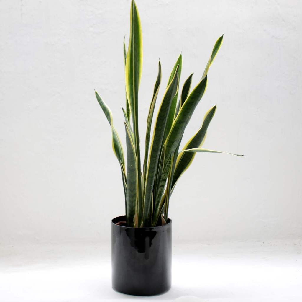 Tall snake plant for low light and low maintenance.